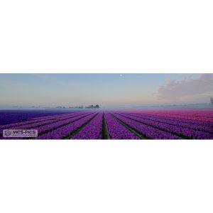 Flower Fields Purple
