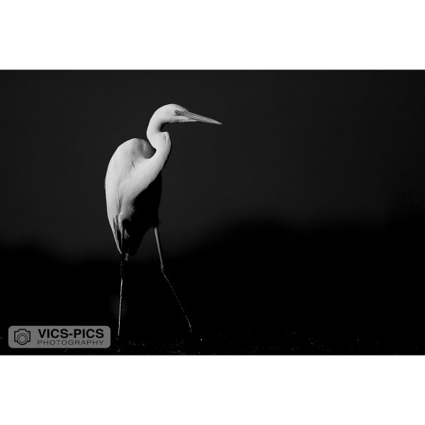 Great Egret B&W