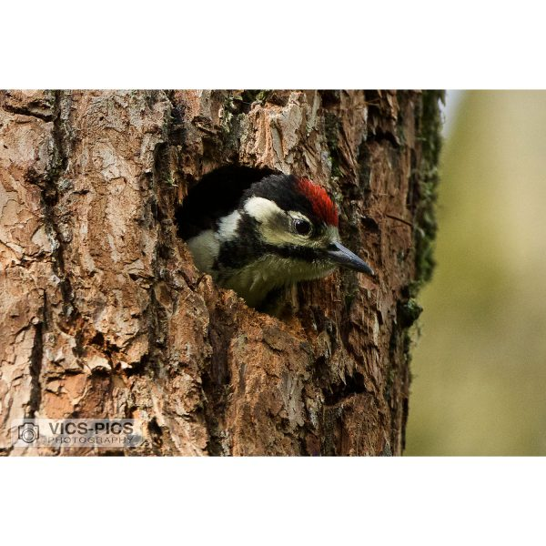 Great Spotted Woodpecker Lookout