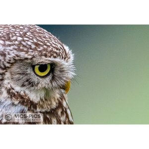 Little Owl 20-20