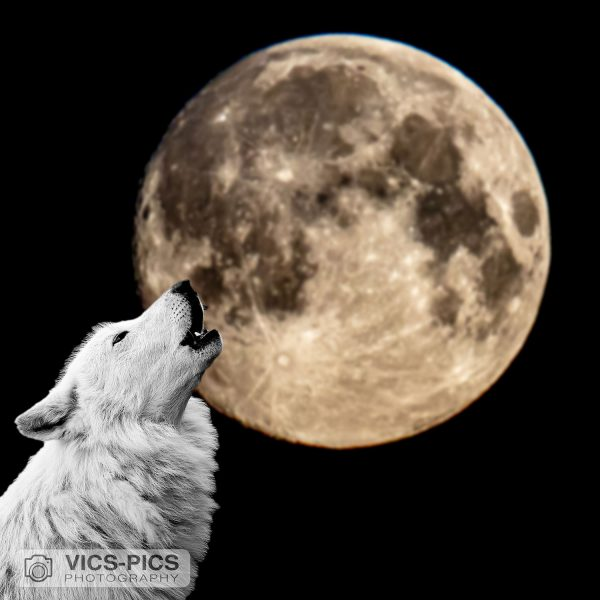 Wolf Howling At The Supermoon 2