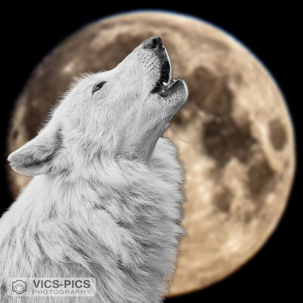 Wolf Howling At The Supermoon 3