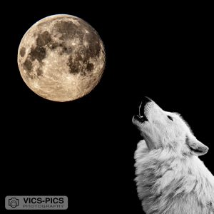 Wolf Howling At The Supermoon